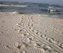 Turtle Tracks at Sunshine Beach